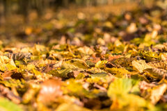 Detail of colorful fallen beech leaves Stock Image