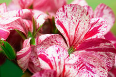 Detail of colorful flowers geranium Royalty Free Stock Photos