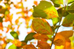 Colorful leaves in autumn sunlight royalty free stock photography