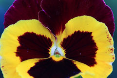 Detail of the colorful Pansy Stock Photos