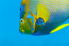 Detail of the colorful Queen Angelfish face,  holacanthus ciliaris, in blue water. Detail of the scale pattern, yellow and blue,side of the face on a Queen Stock Image