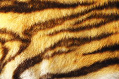 Detail of colorful tiger fur. Animal pelt texture for your design Royalty Free Stock Image