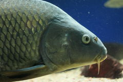 Common carp Royalty Free Stock Photo