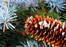Detail of cone and silver spruce Stock Images