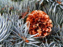 Detail of cone and silver spruce Stock Image