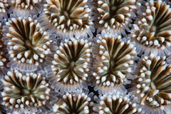Detail of Coral Polyps. Galaxea sp., in Komodo National Park, Indonesia. This tropical region harbors extraordinary marine biodiversity and is a favorite Royalty Free Stock Image