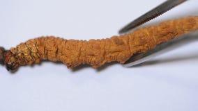 Detail of cordyceps sinensis