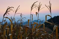 Detail of corn field in the autumn Royalty Free Stock Photography