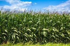 Detail of cornfield plantation Royalty Free Stock Photo