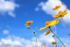 Cosmos flower with blue sky Royalty Free Stock Images