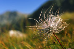 The Detail of Cotton-grass Royalty Free Stock Photo