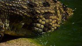 Detail of crocodile coming out of a river in a natural park or zoo. Crocodile or alligator in a river of a natural park or zoo stock footage