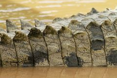 Detail of crocodile's tail Stock Image