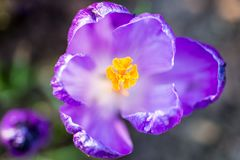 Detail of crocus in early spring Stock Photos