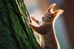 Detail of cute red squirrel on the tree trunk Royalty Free Stock Photo