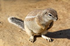 Detail of cute wild rodent sitting on grain with its shadow Stock Photo