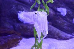 Detail of a Cuttlefish. A full body view of a small Cuttlefish. They are sometimes referred to as 'chameleons of the sea' as they have the ability to alter their Royalty Free Stock Image