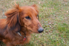 Detail of dachshund Stock Photo