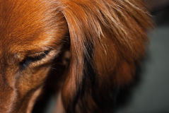 Detail of dachshund Stock Photography