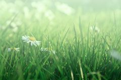 Daisies in grass Royalty Free Stock Photos