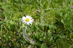 Detail of a daisy flower in green grass Stock Photo