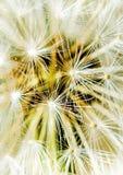 Detail of dandelion stock image