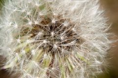Detail of dandelion against green blurred background Royalty Free Stock Image