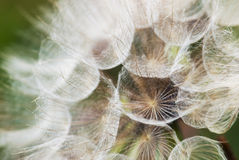 Dandelion with seeds. Detail of dandelion flowers parachutes Stock Photo