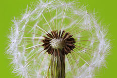 Detail of the Dandelion royalty free stock photography