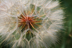 Detail of Dandelion Seeds. Closeup view of some dandelion seed detail. Shallow depth of field. Could be used either horizontal or vertical Royalty Free Stock Photos