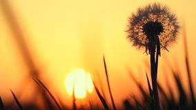 Detail of dandelion with sunset in the background. Spring warm colors, silhouette stock video