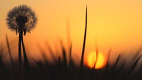 Detail of dandelion with sunset in the background. Spring warm colors, silhouette stock footage