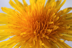 Detail of the Dandelion stock image