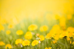Detail of dandelions on meadow, Stock Image