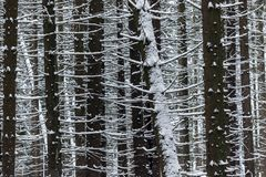 Detail of dark trunks in dense snowy forest in winter. In the highlands Royalty Free Stock Photo