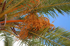 Date palm. Detail of a date palm with dates hanging from the tree Royalty Free Stock Images