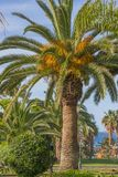 Detail of dates on palm tree stock image