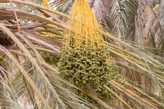 Green dates from the palm tree Douz, Tunisia stock photos