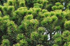 Decorative pine detail Stock Photo