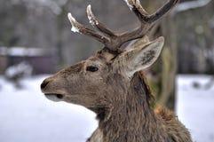 Deer head. Detail of deer head on snow in background stock photo