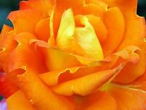 Colourful Bright Orange Rose royalty free stock photography