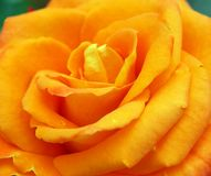 Colourful Bright Orange Rose In Home Garden royalty free stock photo