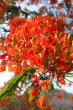 Detail of Delonix Regia (Flamboyant) tree Royalty Free Stock Images