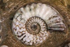 Detail der Ammoniten versteinert lizenzfreies stockfoto