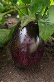 Detail der Aubergine wachsend im Garten Lizenzfreie Stockfotos
