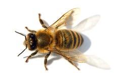 Detail der Biene oder der Honigbiene, API Mellifera stockbild