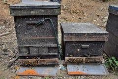 Detail der Bienen fangen mit Bienen vor es ein Stockfotografie