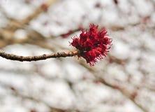 Detail der Blumen von einem Rotahornbaum im Frühjahr Stockfoto