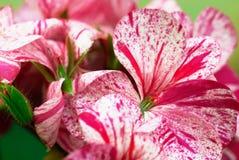 Detail der bunten Blumenpelargonie Lizenzfreie Stockfotos