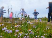 Detail der Flieder blühte Version des Hawksbury-Fluss-Gänseblümchens mit Urlauber im Hintergrund Lizenzfreie Stockfotos
